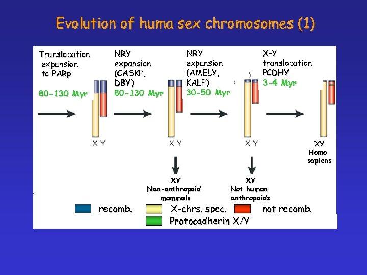 Evolution of huma sex chromosomes (1) Translocation expansion to PARp 80 -130 Myr NRY