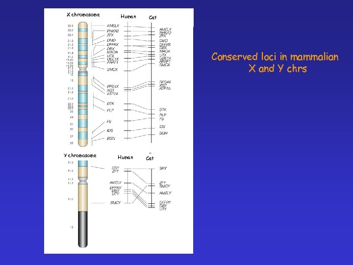X chromosome Human Cat Conserved loci in mammalian X and Y chrs Y chromosome