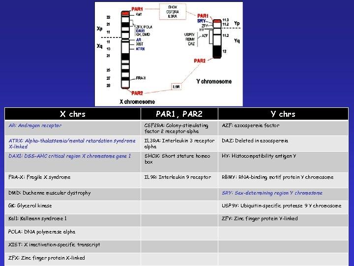 X chrs PAR 1, PAR 2 Y chrs AR: Androgen receptor CSF 2 RA: