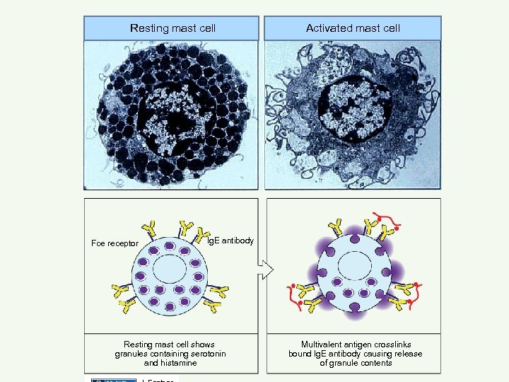 Resting mast cell Fce receptor Activated mast cell lg. E antibody Resting mast cell