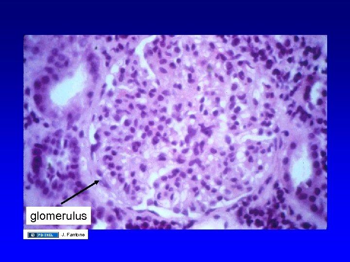 glomerulus J. Fantone