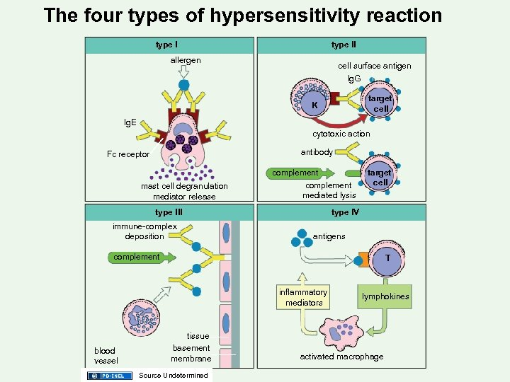 The four types of hypersensitivity reaction type ll allergen cell surface antigen lg. G