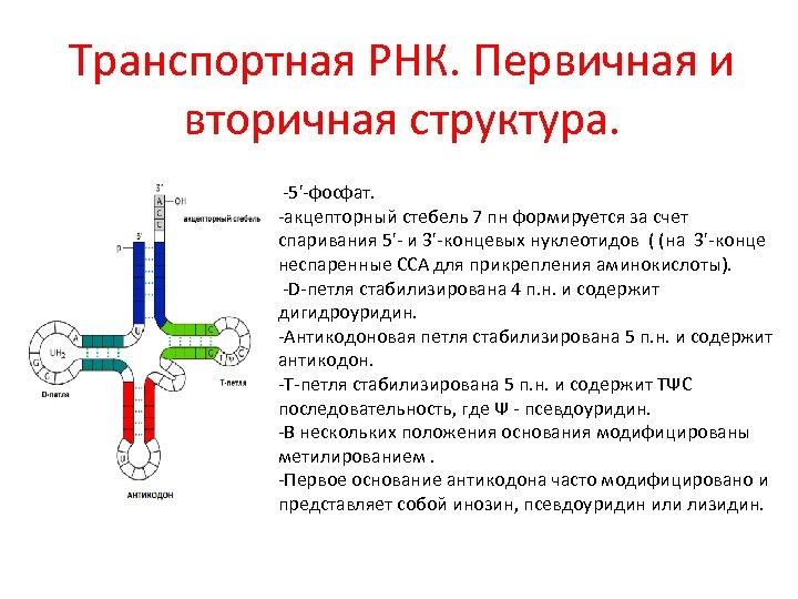 Транспортная РНК. Первичная и вторичная структура. -5'-фосфат. -акцепторный стебель 7 пн формируется за счет