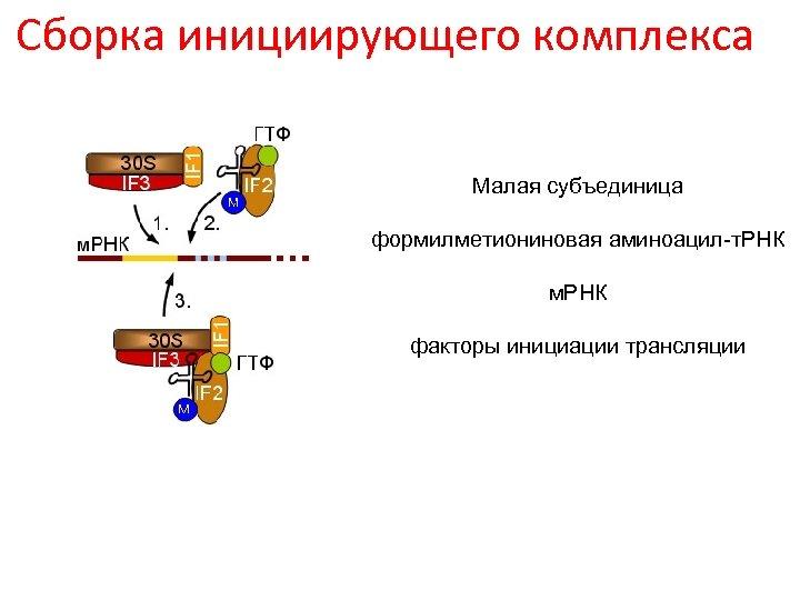 Сборка инициирующего комплекса Малая субъединица формилметиониновая аминоацил-т. РНК м. РНК факторы инициации трансляции