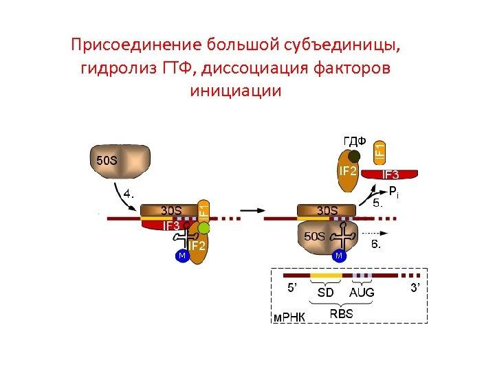 Присоединение большой субъединицы, гидролиз ГТФ, диссоциация факторов инициации