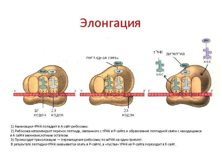 Элонгация 1) Аминоацил-т. РНК попадает в А сайт рибосомы. 2) Рибосома катализирует перенос пептида,