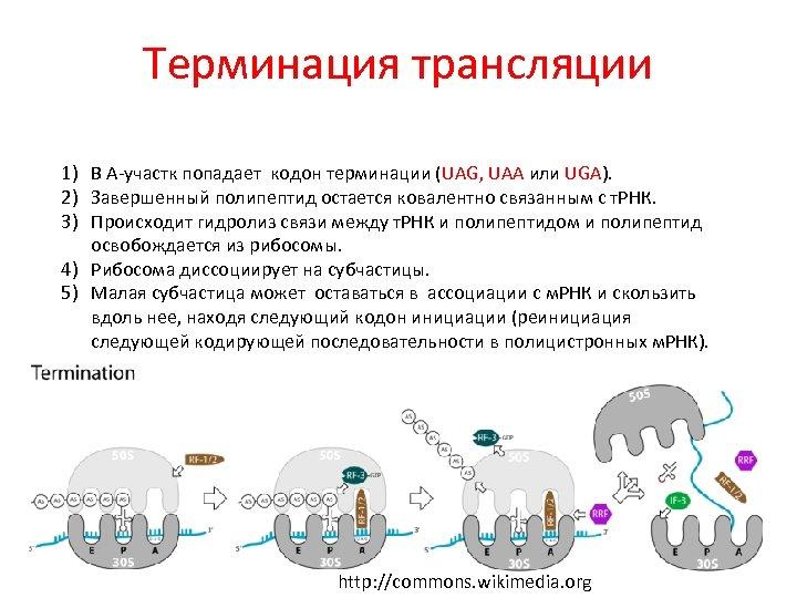 Терминация трансляции 1) В А-участк попадает кодон терминации (UAG, UAA или UGA). 2) Завершенный