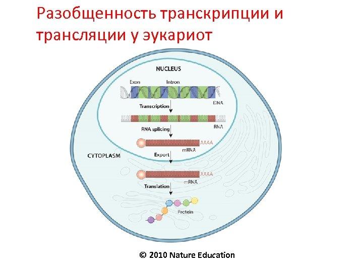 Разобщенность транскрипции и трансляции у эукариот © 2010 Nature Education