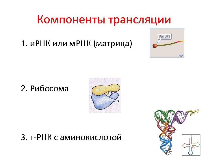 Компоненты трансляции 1. и. РНК или м. РНК (матрица) 2. Рибосома 3. т-РНК с