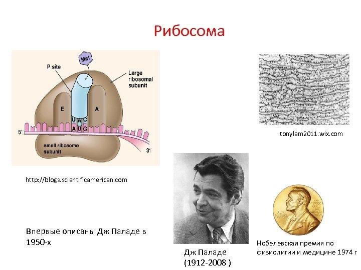 Рибосома tonylam 2011. wix. com http: //blogs. scientificamerican. com Впервые описаны Дж Паладе в