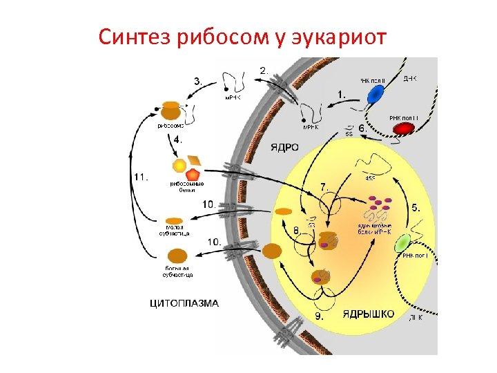 Синтез рибосом у эукариот
