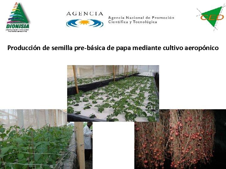 Producción de semilla pre-básica de papa mediante cultivo aeropónico
