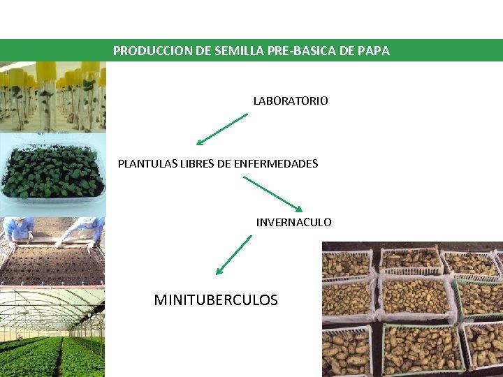 PRODUCCION DE SEMILLA PRE-BASICA DE PAPA LABORATORIO PLANTULAS LIBRES DE ENFERMEDADES INVERNACULO MINITUBERCULOS