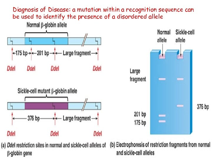 Diagnosis of Disease: a mutation within a recognition sequence can be used to identify
