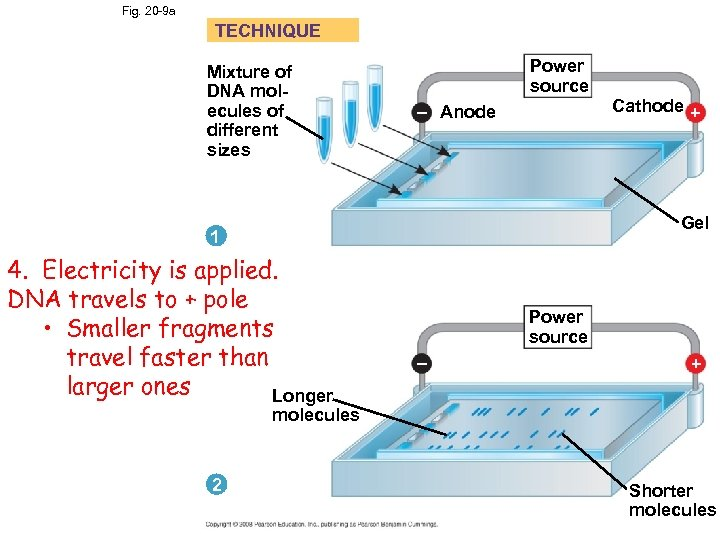 Fig. 20 -9 a TECHNIQUE Mixture of DNA molecules of different sizes Power source