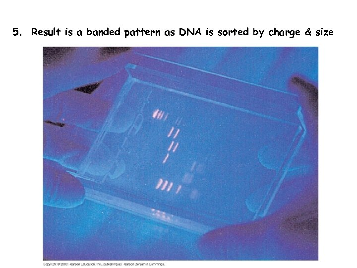 5. Result is a banded pattern as DNA is sorted by charge & size