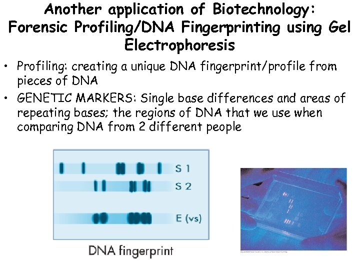 Another application of Biotechnology: Forensic Profiling/DNA Fingerprinting using Gel Electrophoresis • Profiling: creating a