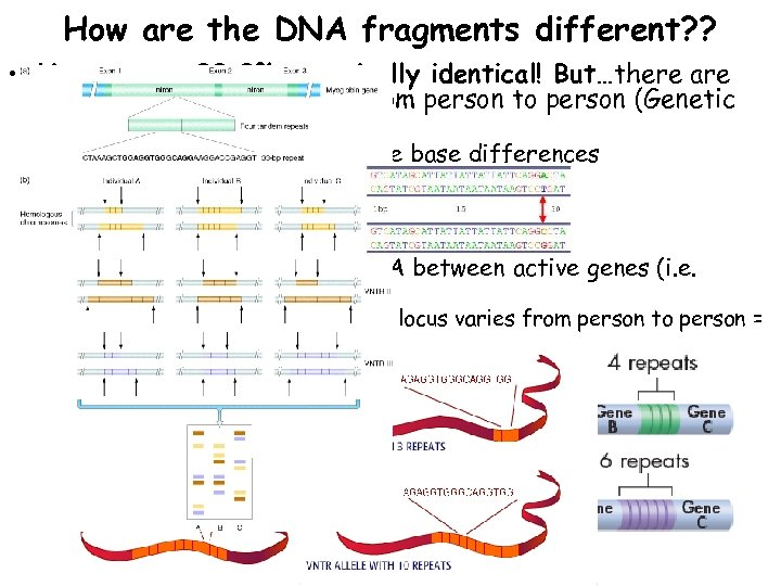 How are the DNA fragments different? ? • Humans are 99. 9% genetically identical!