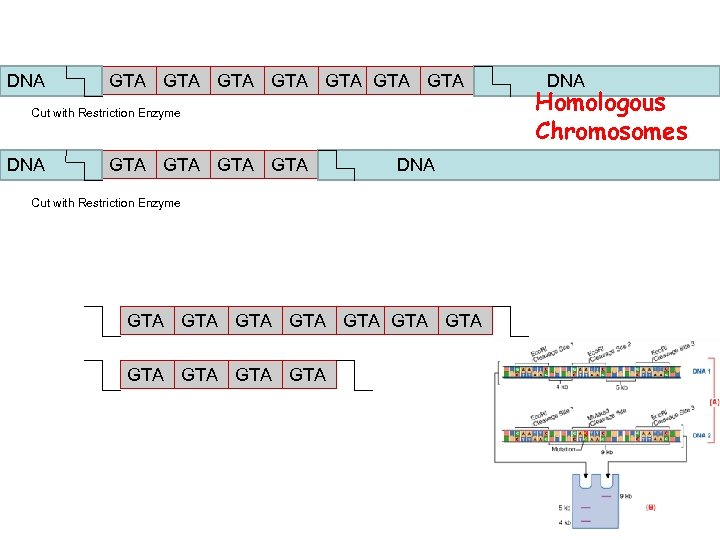 DNA GTA GTA Cut with Restriction Enzyme DNA GTA GTA DNA Cut with Restriction