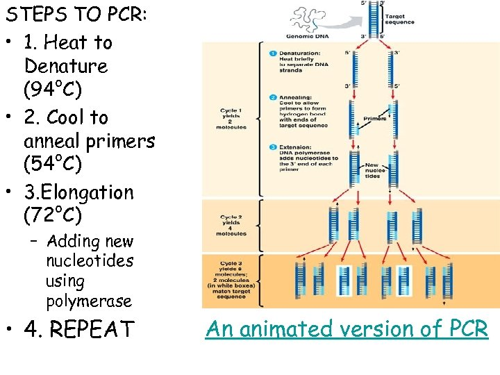 STEPS TO PCR: • 1. Heat to Denature (94°C) • 2. Cool to anneal