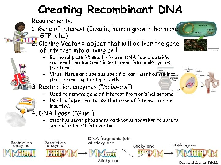 Creating Recombinant DNA Requirements: 1. Gene of interest (Insulin, human growth hormone, GFP, etc.