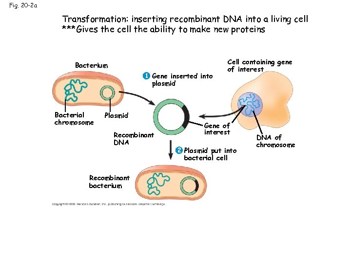 Fig. 20 -2 a Transformation: inserting recombinant DNA into a living cell ***Gives the