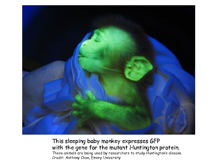 This sleeping baby monkey expresses GFP with the gene for the mutant Huntington protein.
