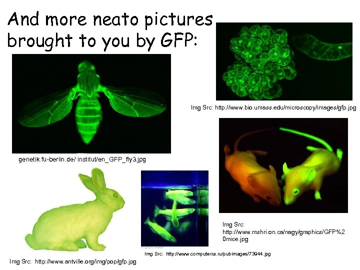 And more neato pictures brought to you by GFP: Img Src: http: //www. bio.