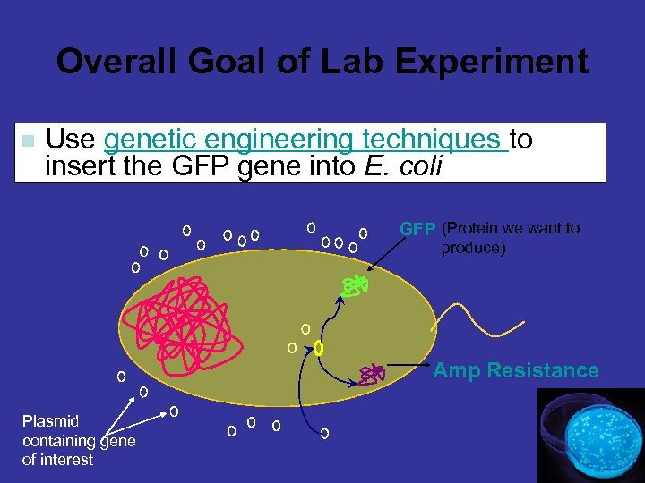 Overall Goal of Lab Experiment n Use genetic engineering techniques to insert the GFP