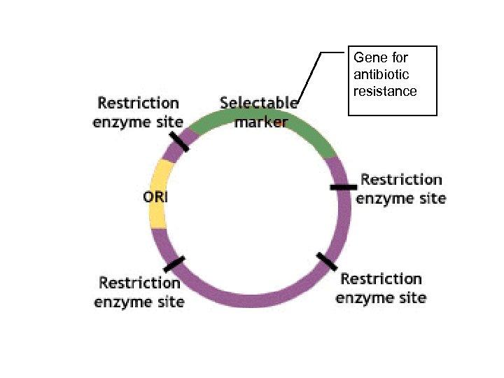 Gene for antibiotic resistance