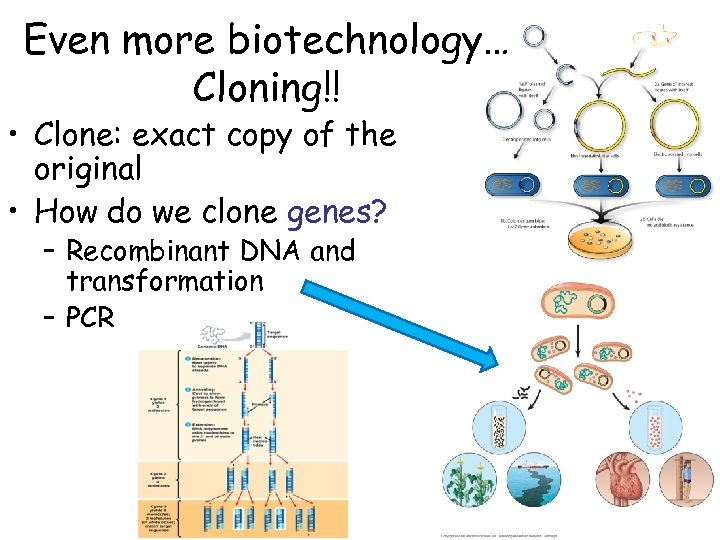 Even more biotechnology… Cloning!! • Clone: exact copy of the original • How do