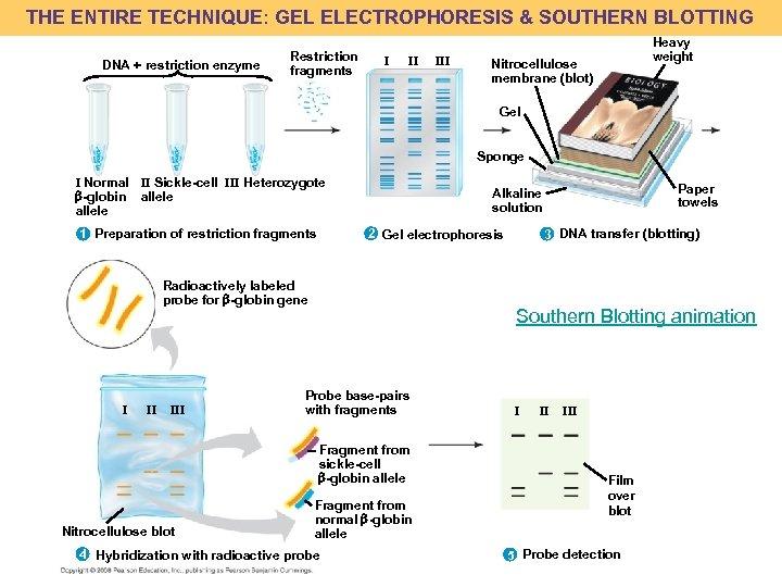 THE ENTIRE TECHNIQUE: GEL ELECTROPHORESIS & SOUTHERN BLOTTING DNA + restriction enzyme Restriction fragments