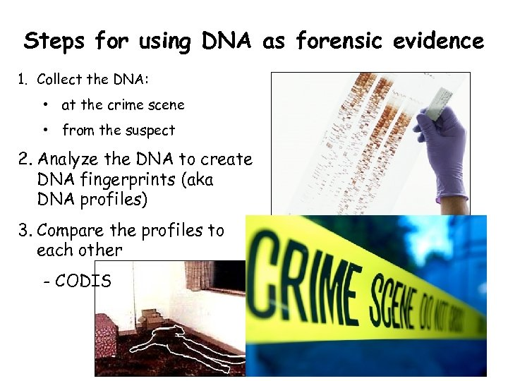 Steps for using DNA as forensic evidence 1. Collect the DNA: • at the