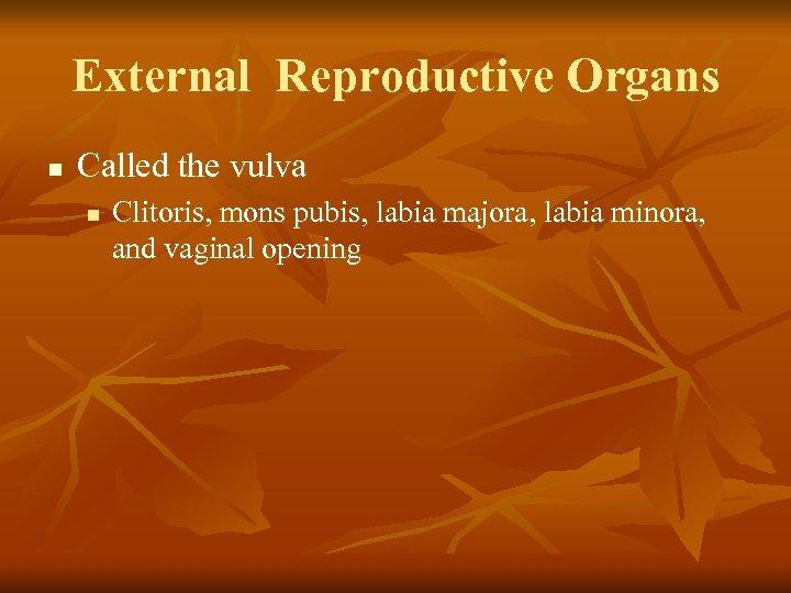 External Reproductive Organs n Called the vulva n Clitoris, mons pubis, labia majora, labia