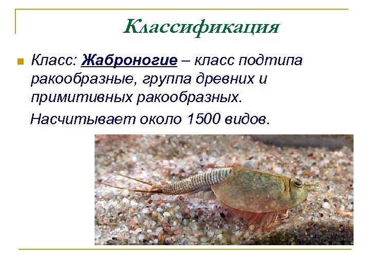 Классификация Класс: Жаброногие – класс подтипа ракообразные, группа древних и примитивных ракообразных. Насчитывает около