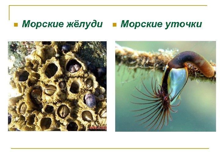 n Морские жёлуди n Морские уточки