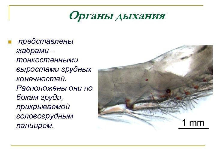 Органы дыхания n представлены жабрами - тонкостенными выростами грудных конечностей. Расположены они по бокам