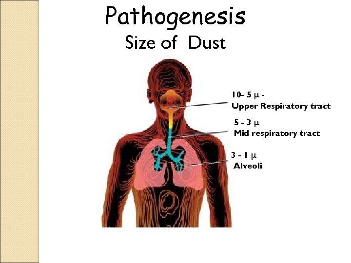 Pathogenesis Size of Dust 10 - 5 μ Upper Respiratory tract 5 -3μ Mid