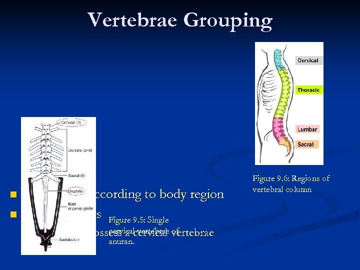 Vertebrae Grouping Grouped according to body region Amphibians Figure 9. 5: Single n n