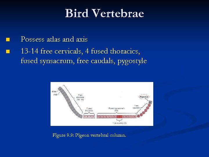 Bird Vertebrae n n Possess atlas and axis 13 -14 free cervicals, 4 fused