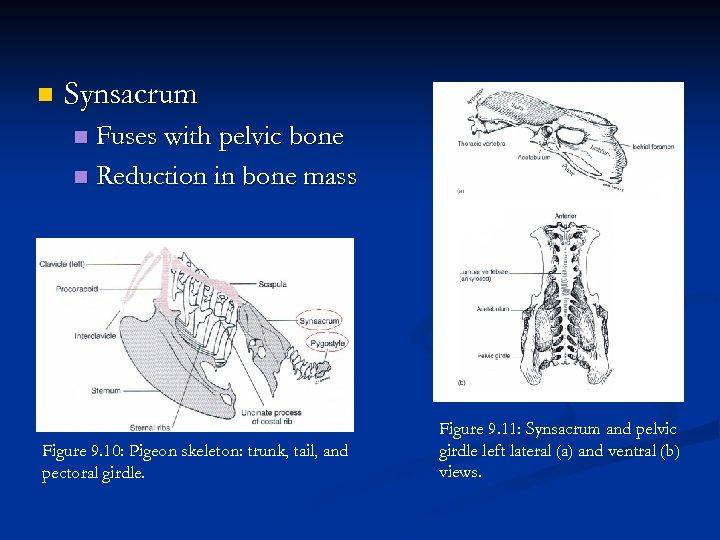 n Synsacrum Fuses with pelvic bone n Reduction in bone mass n Figure 9.