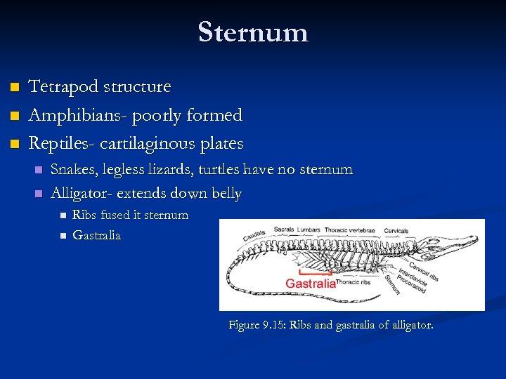Sternum n n n Tetrapod structure Amphibians- poorly formed Reptiles- cartilaginous plates n n
