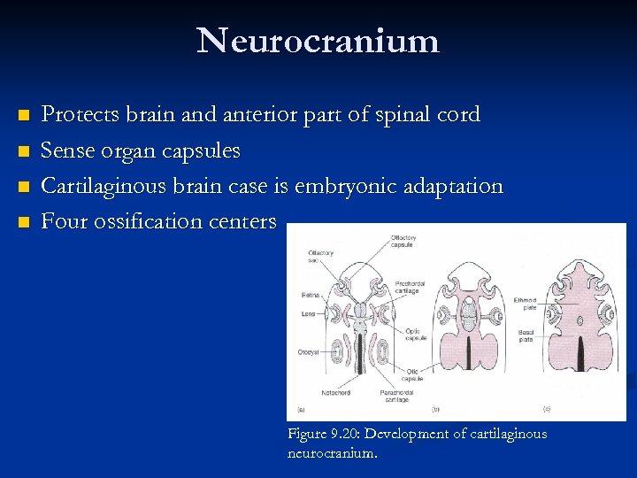 Neurocranium n n Protects brain and anterior part of spinal cord Sense organ capsules