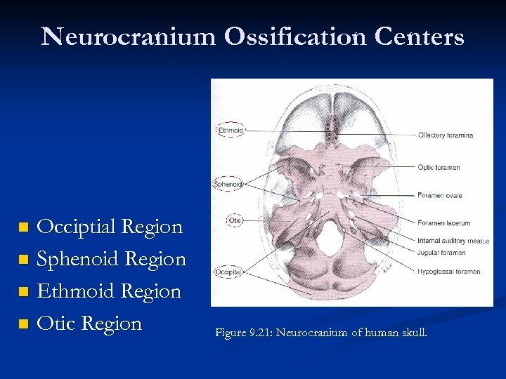 Neurocranium Ossification Centers Occiptial Region n Sphenoid Region n Ethmoid Region n Otic Region