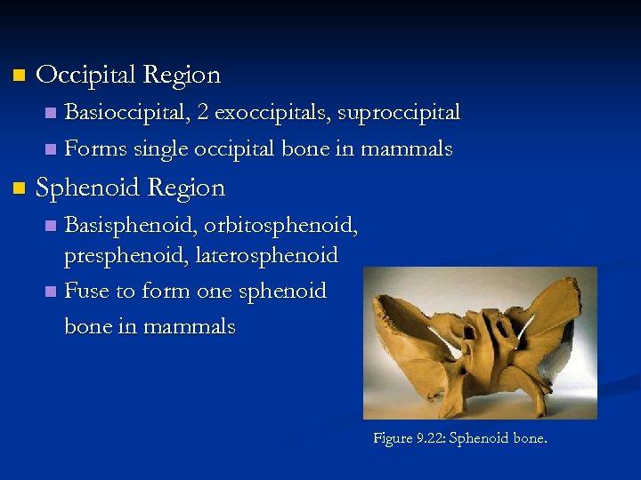 n Occipital Region Basioccipital, 2 exoccipitals, suproccipital n Forms single occipital bone in mammals