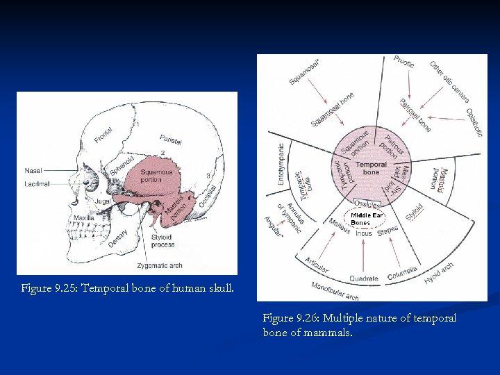 Figure 9. 25: Temporal bone of human skull. Figure 9. 26: Multiple nature of