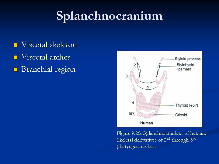 Splanchnocranium n n n Visceral skeleton Visceral arches Branchial region Figure 9. 28: Splanchnocranium