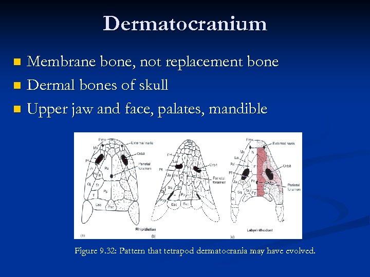 Dermatocranium Membrane bone, not replacement bone n Dermal bones of skull n Upper jaw