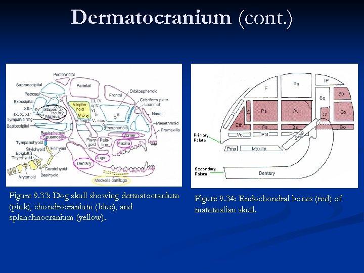 Dermatocranium (cont. ) Figure 9. 33: Dog skull showing dermatocranium (pink), chondrocranium (blue), and