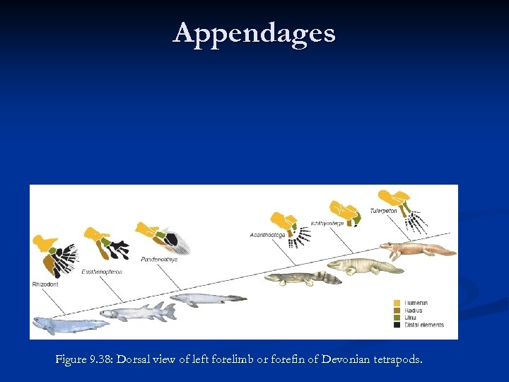 Appendages n n Single unit in both fore and hind limbs most medial Two